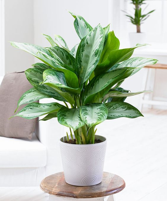 Chinese Evergreen as Low Light Houseplant
