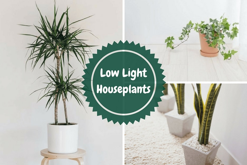 Low Light Houseplants That Are Hard to KillLow Light Houseplants