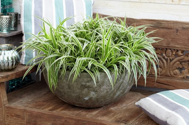 Low Light Houseplants - Spider Plant Hard to Kill